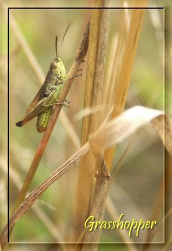 Ah Grasshopper by Tebbs