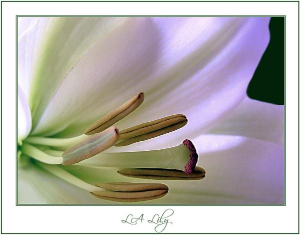 LA Lily by KKmoments