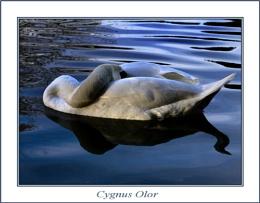 Swan Sleep