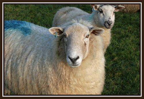 Cornish Sheep by warbstowcross