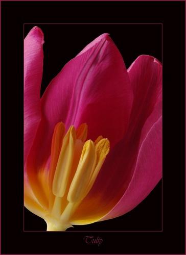 Tulip by DaisyD50