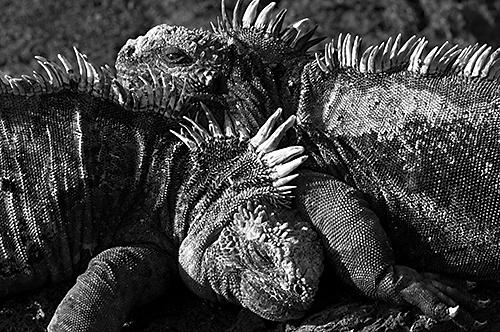 Iguana Love by scillysurfers