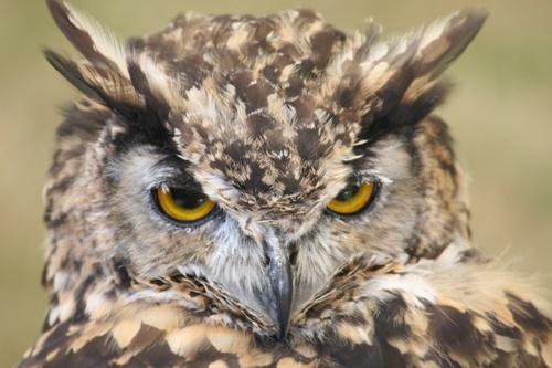 Eagle Owl by mikearicha