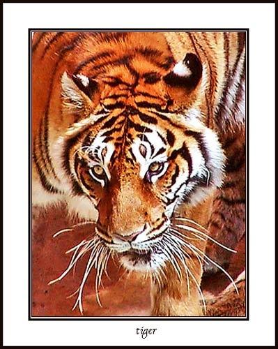 TIGER by essien