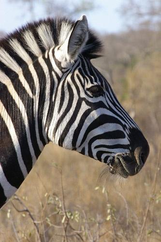 Zebra in Kruger National Park by Ruthannette