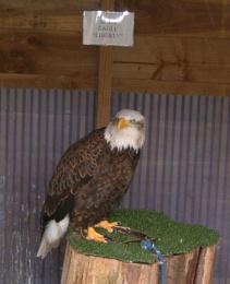 Bald Eagle-Liberty