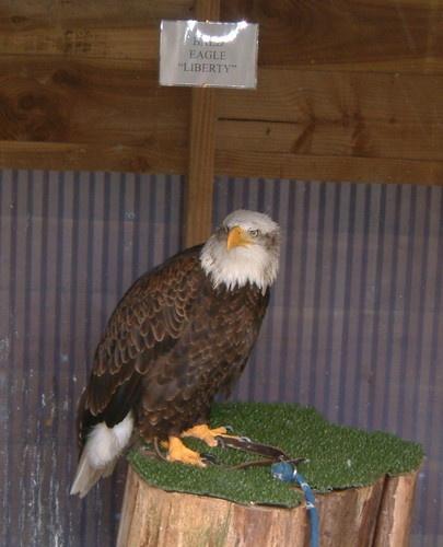 Bald Eagle-Liberty by cellop