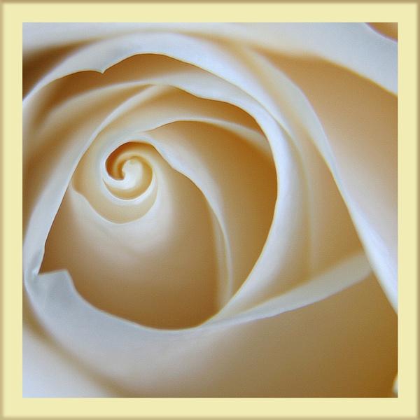 Pale Rose by hughscott
