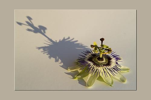 Passiflora by RSaraiva