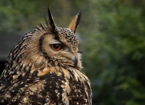 Bengal Eagle Owl (Bubo bubo) by rojo-uk