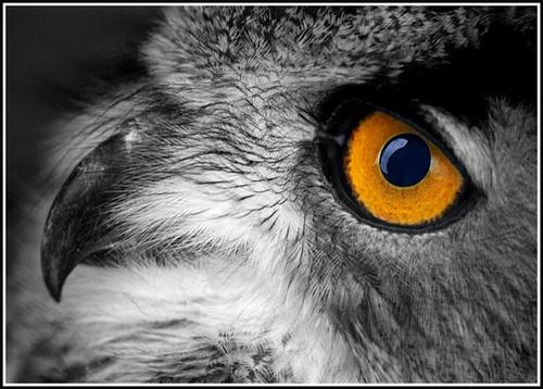 Owl by nikguyatt