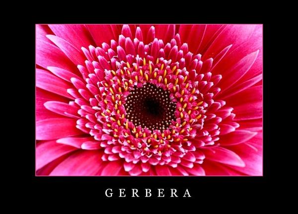 Gerbera by Cole