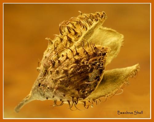 Beechnut shell by lancs-lad