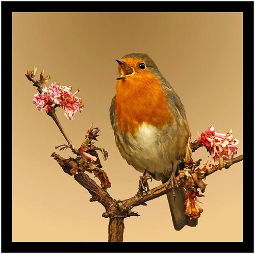 Robin in full song by Hawkgenes