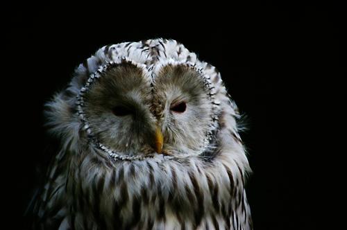 Owl by Beta1