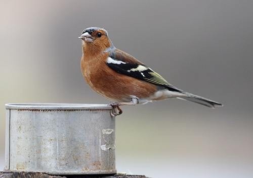 chaffinch by dhough