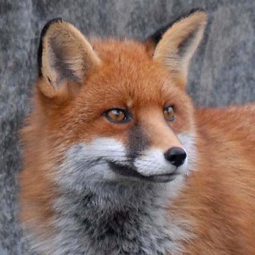 Foxy Lady by Newtman