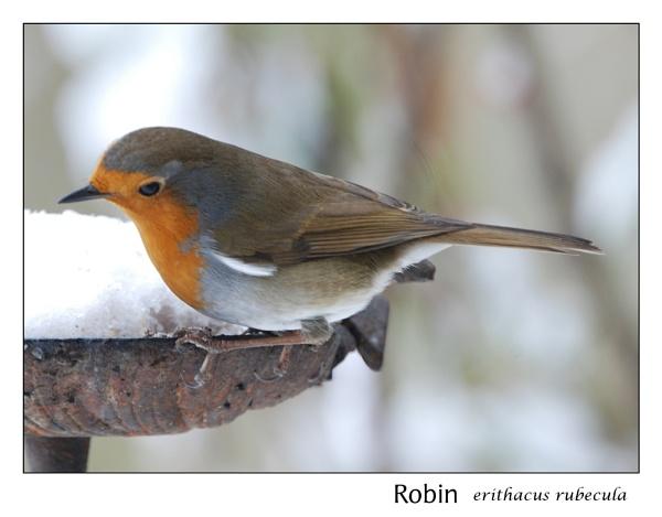 Robin by ferguspatterson
