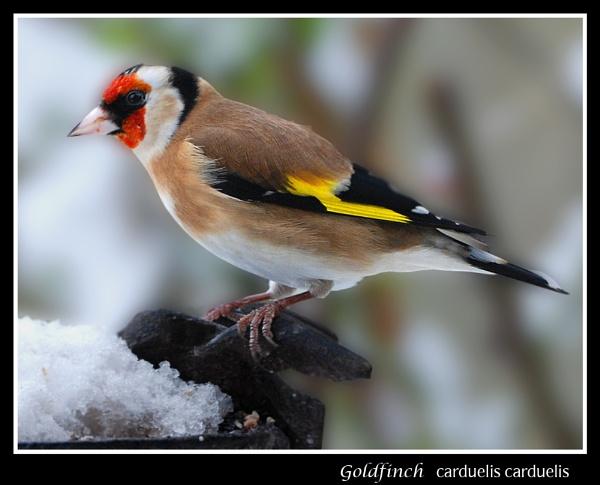 Goldfinch by ferguspatterson