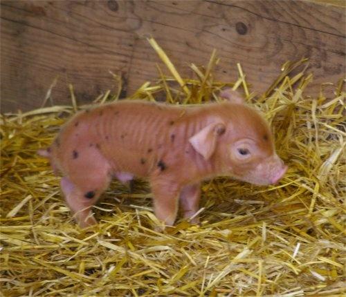 Piglet by EeyoresFriends