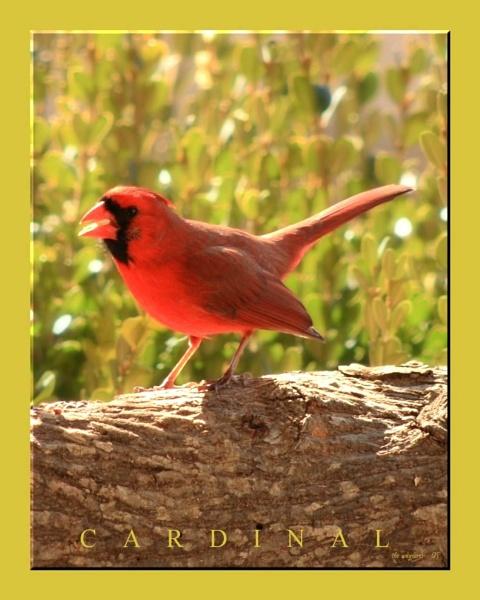 Cardinal by wayfarer