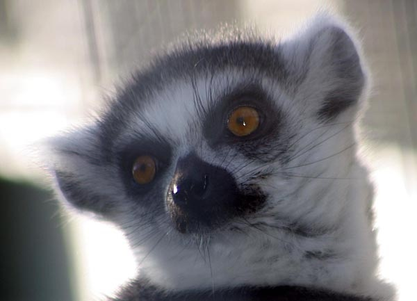 ring tailed lemur by Blueprint