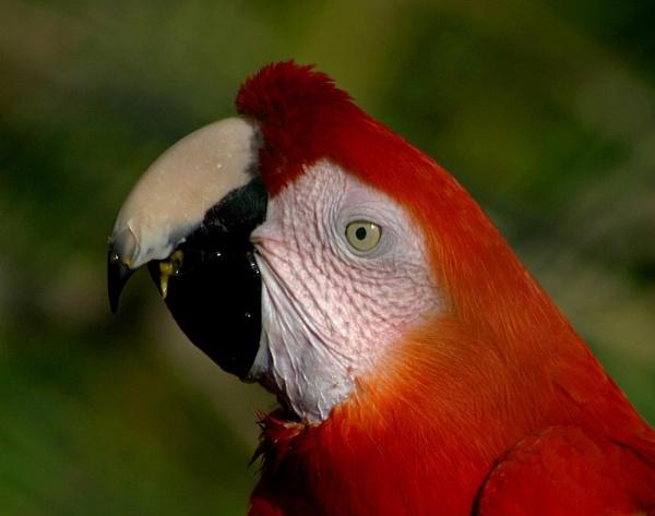 Scarlet Macaw by Blueprint