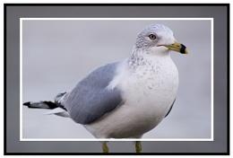 Diirty'ol Seagull