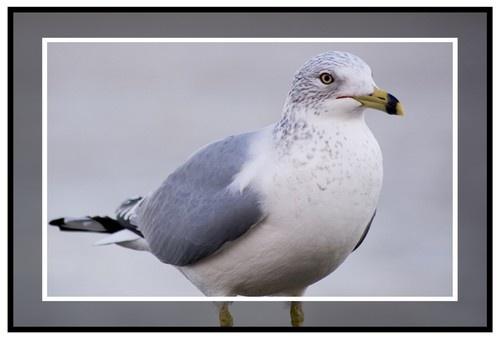 Diirty\'ol Seagull by rohanps