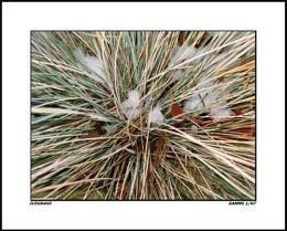 Icegrass