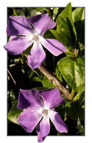 First purples by jamsa