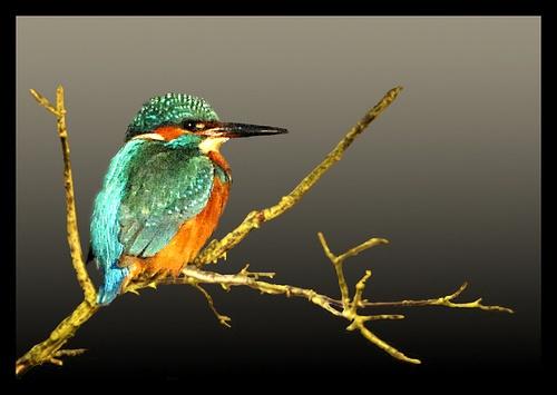 Kingfisher resting by Hawkgenes