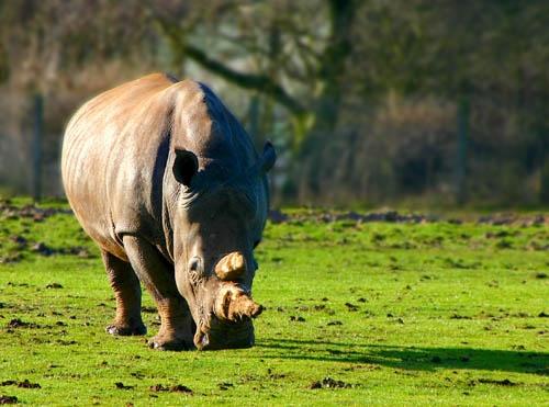 Grazing Rhino by DebnIan