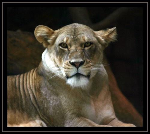 MGM Lion by beavis