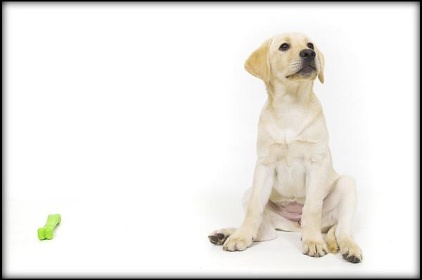 Golden Labrador by bobaloona