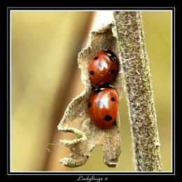 Ladybirds 2