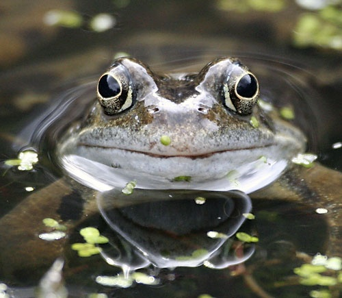 Common Frog by flukeprint
