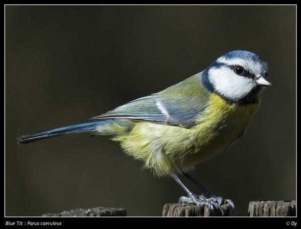 Blue Tit by Oy_bumbler