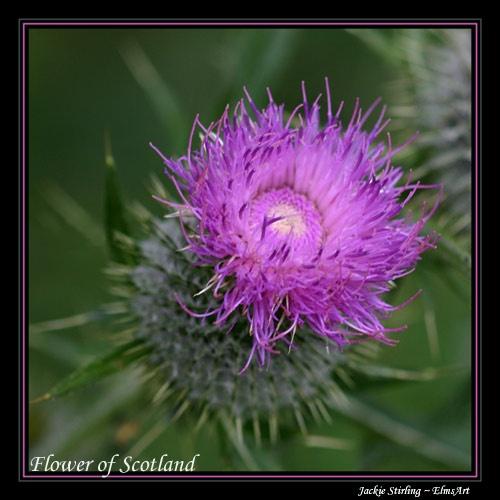 Flower of Scotland by ElmsArt