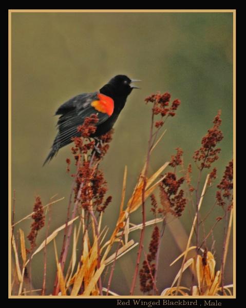 Red Winged Blackbird by mommy2cutekids