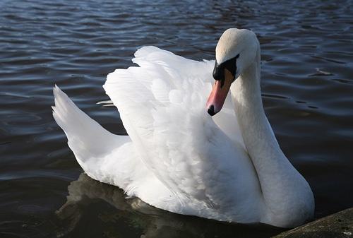 Swan by ednys