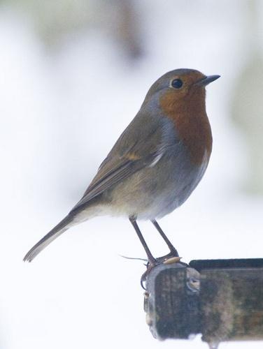 Robin by Squirrel