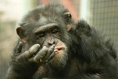 Chimp by summ3r