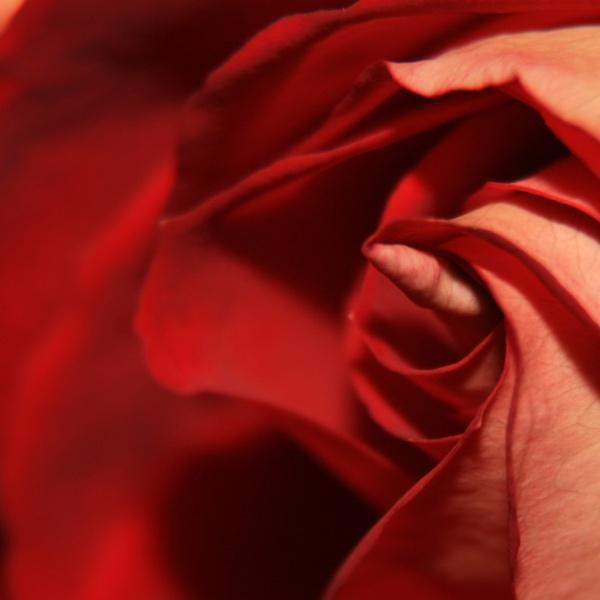 Phallic Rose by hughscott