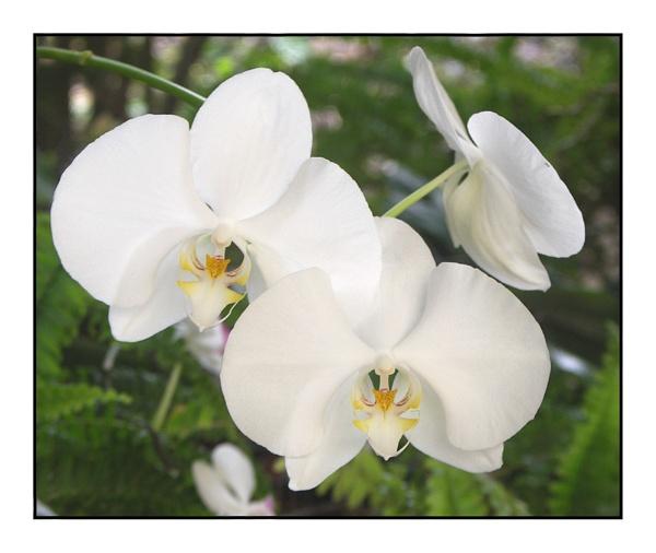 Orchid by hughscott