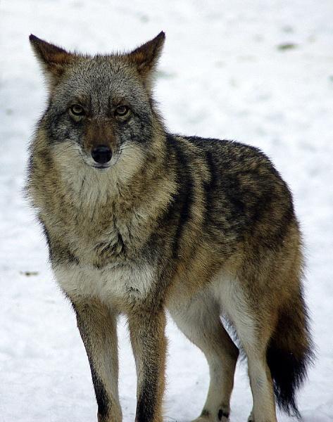 Wile E. Coyote by sputnki