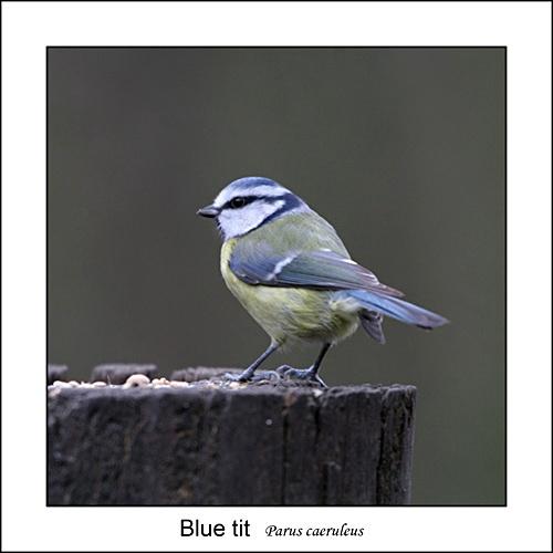 Blue tit by Keith-Mckevitt