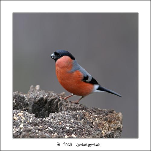 Bullfinch by Keith-Mckevitt