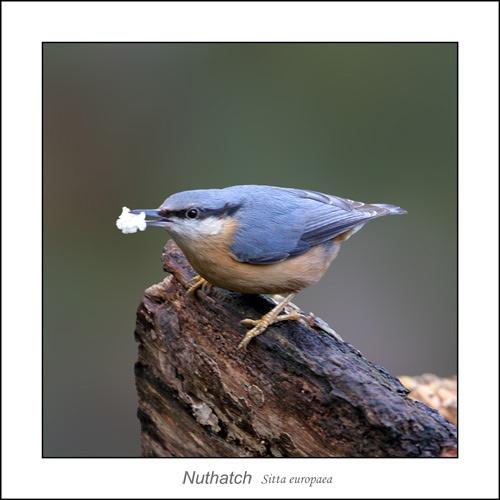 Nuthatch by Keith-Mckevitt
