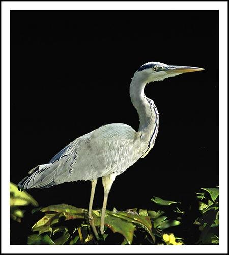 Grey heron by Hawkgenes